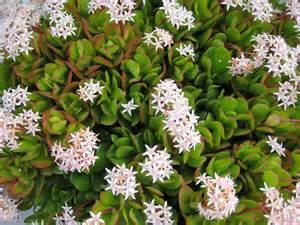 Flowering Jade Plants - gallery for gt flowering jade plants