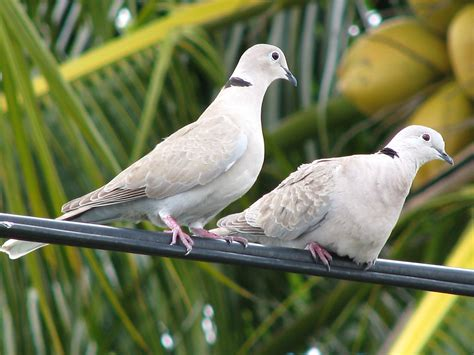 eurasian collared doves www ifish net