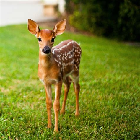 fawn images a deer faw baby deer animals