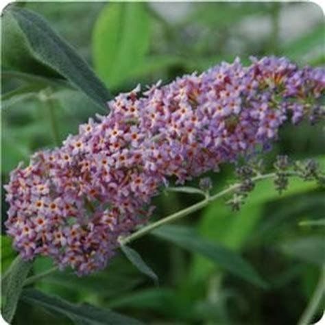 shrub with purple cone shaped flowers flutterby butterfly bushes available