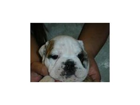 bulldog puppies for sale in az bulldog puppies in arizona