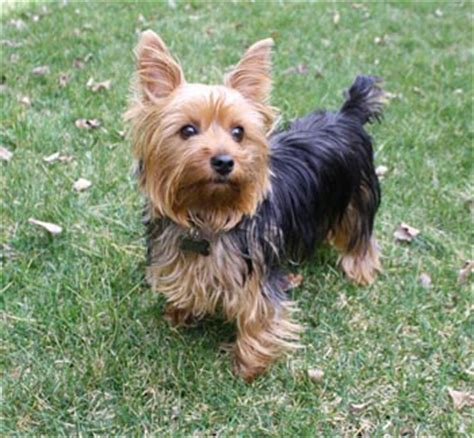 different types of yorkie haircuts yorkie puppy cut hair style breeds picture