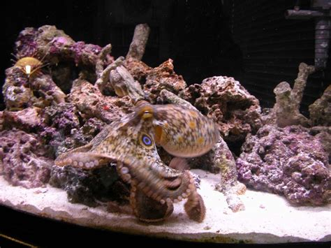 octopus home keeping cephalopods in captivity the octopus news