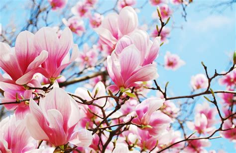 Images Of Magnolias Flowers - chinese flowers pure perfume nantucket perfume company