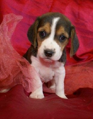 beagle puppies for sale in missouri 17 best ideas about beagles for sale on beagle dogs for sale beagle