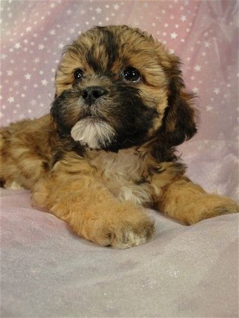 shih tzu puppies for sale in cedar rapids iowa 30 best images about teddy dogs on shih tzu mix teddy dogs and