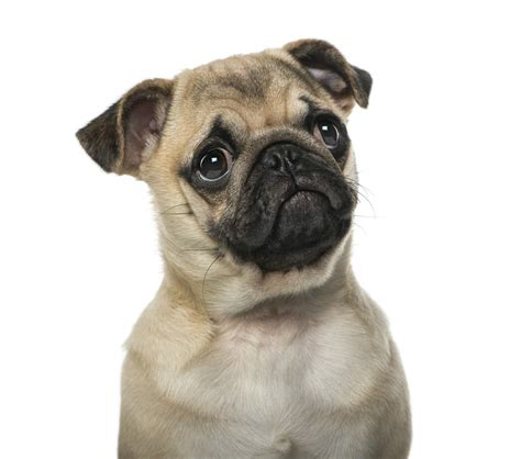 colorado pugs pug dogs breed information omlet