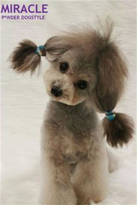how to get a ponytail on a poodle 1000 images about poodle cuts on pinterest poodles toy