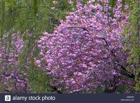 cherry tree michigan flowering japanese cherry trees and weeping birch trees on michigan stock photo 6432028 alamy