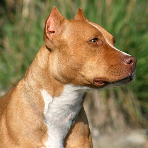 pit gallery pitbulls with ears cut breeds picture