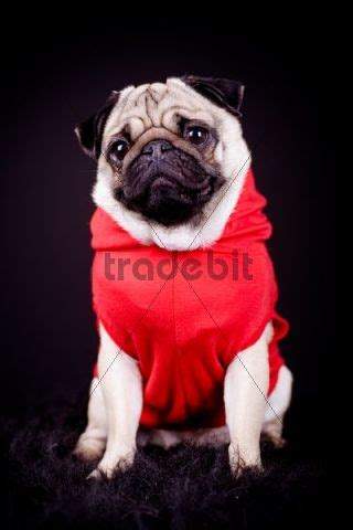 pugs wearing clothes pug wearing clothing animals