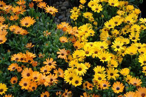 bellas flores amarillas y rojas mandarsaludoscom el jard 237 n de ivonne arriate delantero p 225 gina 21