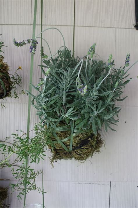 144 best images about rosemary on pinterest herb pots