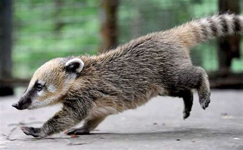 coati babies are adorable 20 pictures