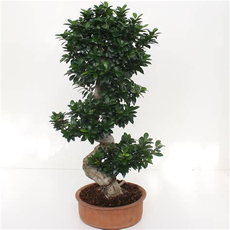 piante bonsai da interno bonsai ficus ginseng s shape 80 100 piante grasse