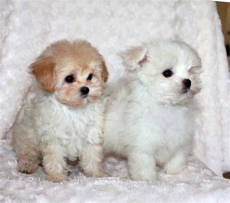teacup maltese pomeranian mix pomeranian maltese poodle mix www pixshark images galleries with a bite