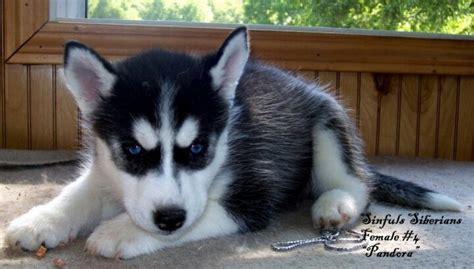 husky doodle puppy pin husky doodle puppies on