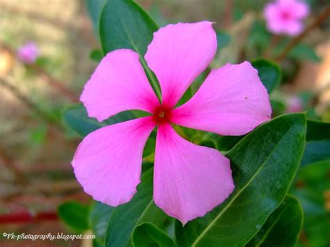 catharanthus roseus madagascar periwinkle nature cultural and travel photography