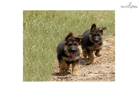 german shepherd puppies for sale in florida german shepherd puppy for sale near ta bay area florida a3e4ff43 8d11