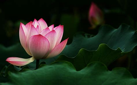 flowers that bloom at beautiful flowers wallpapers 1920x1200 beautiful lotus flower desktop pc and mac wallpaper