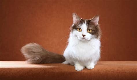 Munchkin Cat Breed Information