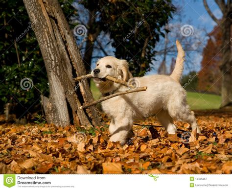 golden retriever hair fall golden retriever puppy with stick royalty free stock photography image 10435367