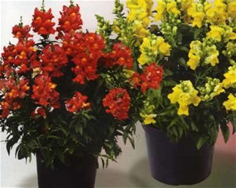bocca di in vaso bocca di pianta decoartiva con fiori colorati molto