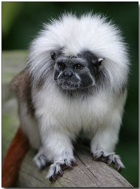 best cotton cotton top tamarin photo doug j photos at pbase com