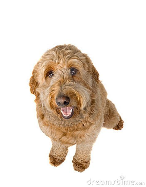 goldendoodle puppy panting golden doodle stock photo image 14309490