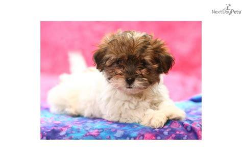 shih tzu puppies for sale in alberta shih tzu maltese puppies for sale in alberta