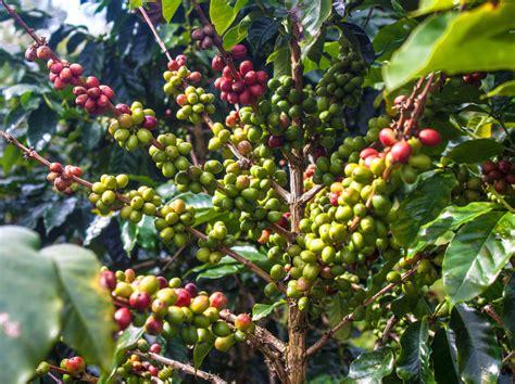 pohon kopi how to grow coffee plant ebay