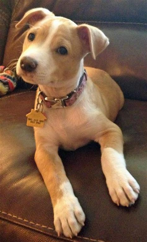 pit mix puppies pit bull mix so dogs dogs dogs terrier mix o