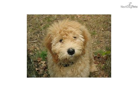 mini goldendoodles louisville puppies for sale from loveabledoodles nextdaypets
