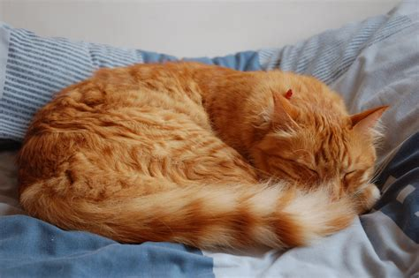 Why Does Cat On Bed by File Domestic Cat Sleeping Jpg Wikimedia Commons