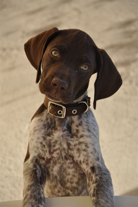 laser pointer for dogs german shorthaired pointer chango listening closely woof german