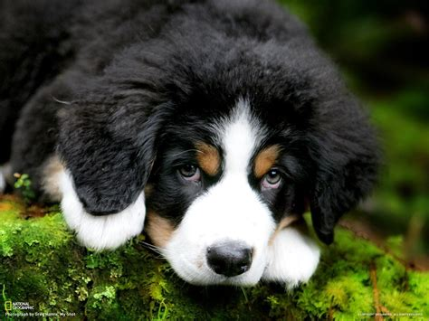 mountain puppies puppy bernese mountain wallpapers and images wallpapers pictures photos