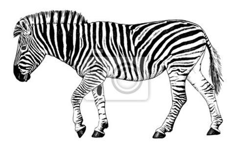 imagenes de cebras para dibujar faciles cuadro blanco y negro dibujo vectorial de una caminata