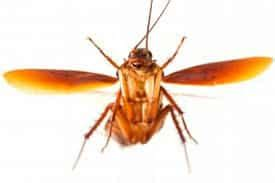 scarafaggi volanti in casa impresa di pulizie e disinfestazione con sede in matino