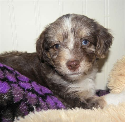 mini aussiedoodle puppies mini blue eyed f1 aussiedoodle puppies aussiedoodle and
