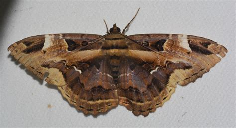 moths of costa rica s rainforest books file moths of costa rica letis herilia jpg wikimedia