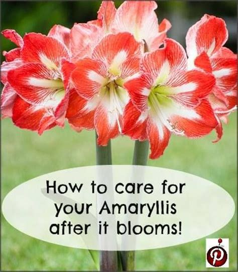 amaryllis care for the garden patio sideporch pinterest