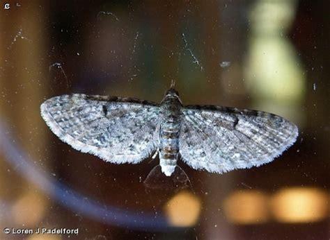 common pug nature search common pug moth caterpillar eupithecia miserulata geometrid moth