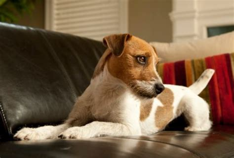 how to keep dog hair off couch 5 ways to keep your dog off the couch animal bliss