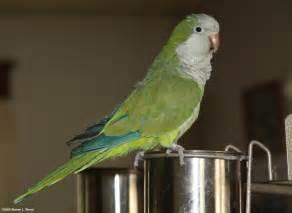 quaker parrot simon pics4learning