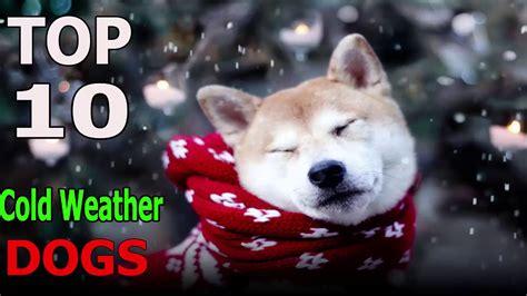 Top 10 cold weather dog breeds   Top 10 animals   FunnyDog.TV