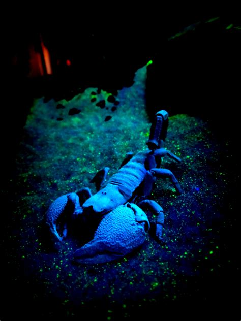 glow in the dark scorpion tattoo emperor scorpion under black light black emperor