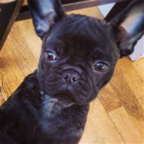 frug puppies our new addition cutie frug frenchie pug puppy