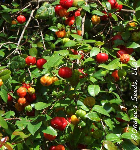 surinam cherry florida cherry eugenia uniflora seeds