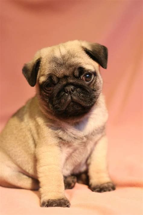 how much is a baby pug 70 best images about pugs on pug pug and pug puppies