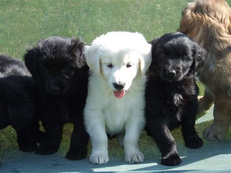 border collie x golden retriever puppies for sale golden retriever x border collie liss hshire pets4homes